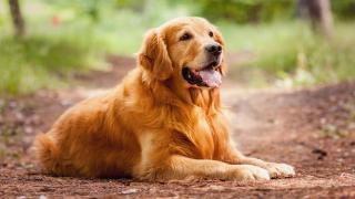 golden-retriever-dog-breed